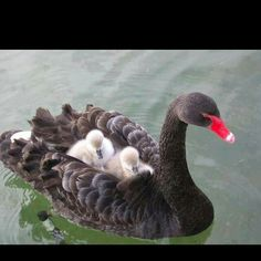 swan with chicks on her