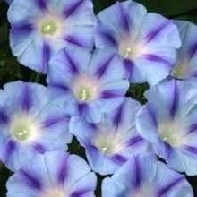 Burpee Flower Morning Glory Blue Star 42572 (Multi Colored) 25 Seeds David's Garden Seeds http://www.amazon.com/dp/B00HSO5RVS/ref=cm_sw_r_pi_dp_kJXUtb1CDRNR631B