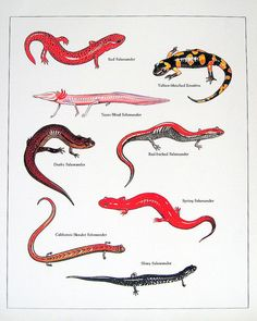 Newts and Salamaders