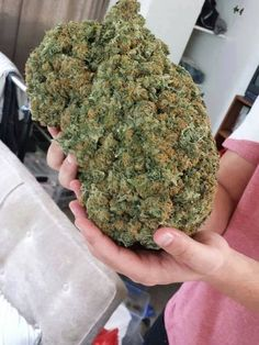Weed Online Supply is a discreet and fast place to Buy Marijuana/ Buy weed /Buy cannabis at affordable prices within USA and out of USA.Get the best with us as your satisfaction is our priority Visit weedonlinesupplier dot com for more or contact at 978 Cannabis Seeds For Sale, Cannabis Shop, Indica Strains, Buy Cannabis Online, Marijuana Plants, Medical Marijuana, Nature, Tatoo, Plants