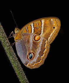 Borboletas e Mariposas: Antonio Wuo