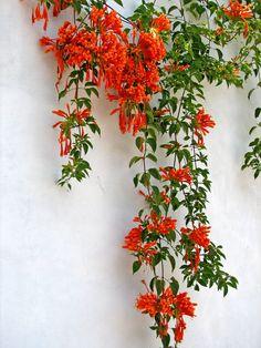 Hanging Orange Flowers In Puerto Vallarta Rare Flowers, Little Flowers, Wild Flowers, Beautiful Flowers, Puerto Vallarta, Garden Animals, Fruit Painting, Tropical Landscaping, Flowering Vines