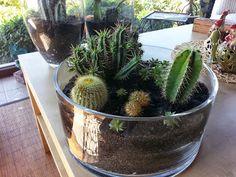 Kendi yaptığımız kaktüs / sukulent düzenlemeleri Our own cactus / succulent arrangements