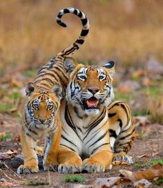 "beautiful-wildlife:  ""A tiger with her cub by © Nilanjan Chatterjee  """