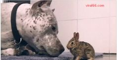 This Pit Bull Was Left Alone In A Room With Baby Bunny - Viral66