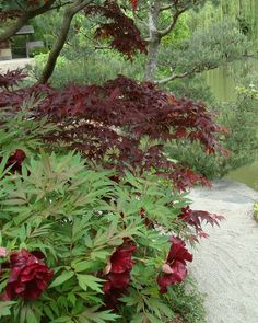 Deep red tree peony paired with a Japanese Maple.
