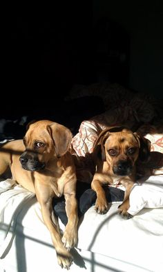 1000 images about puggles love them on pinterest puggle puppies beagles and pug. Black Bedroom Furniture Sets. Home Design Ideas