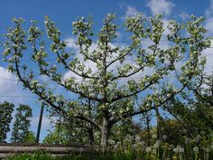 Espaliered tree (apple)