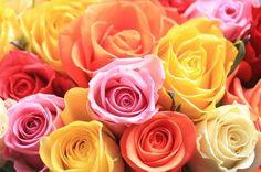 250 Premium Roses Assorted Wholesale Bulk