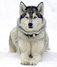 Beautiful Husky #siberianhuskypuppy