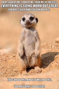 """calmingmanatee:  [IMAGE DESCRIPTION: A photograph of a baby meerkat just past the camera, standing on its hind legs. TEXT: """"Okay. Look at me. Look at me. Look me in the eyes. Everything is going to work out great. You are clever and you can do this. You can do this, and you will do this. You are going to do great.""""]  [Image credit.]"""