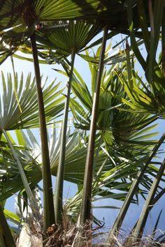 Sous un palmier....