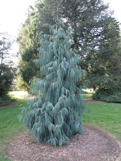 Details about Kashmir Cypress Cupressus cashmeriana Tree Seeds (Fragrant Weeping Evergreen) Evergreen Landscape, Evergreen Garden, Evergreen Shrubs, Garden Shrubs, Garden Trees, Landscaping Plants, Landscaping Design, Conifer Trees, Trees And Shrubs