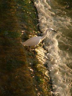 on the Arno riverside - Florence Arno, Tuscany, Florence, My Photos, Birds, Animals, Animales, Animaux, Bird