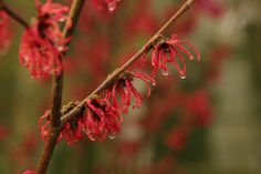 Hamamelis x intermedia 'Ruby Glow' is a fragrant winter flowering shrub, available from Big Plant Nursery Winter Flowering Shrubs, Orange Red, Yellow, Big Plants, Fiery Red, Plant Nursery, Winter Garden, Green Leaves, 20 Years