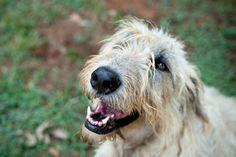 Irish Wolfhounds, Share My Life, Beautiful Dogs, Explore, Animals, Cute Dogs, Animales, Animaux, Animal