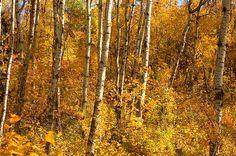 Autumn colors in Edmonton, Alberta, Canada.