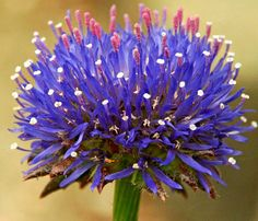 JASIONE laevis 'Blue Light' (scabious)  Spiky spherical blue flowers on this compact tufted perennial. Suitable for a rock garden or the border front. Very long blooming. Grows to 8 inches with 8 inch spread. ☀