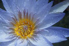 Water Lily (Nymphaea) by lbcurado. @go4fotos