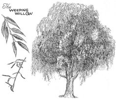How to Draw Weeping WIllows Trees