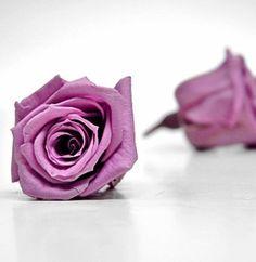 Preserved Roses Lavender|12 heads