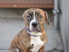 BELLA - A1071283 - - Brooklyn  Please Share:   TO BE DESTROYED 05/01/16 ONE YEAR OLD PUP ONLY GIVEN A FEW DAYS DAYS! When a dog is surrendered to the NYCACC he/she is at risk for being destroyed at any time. Such is the case with 1 year old Bella. One look into her sad eyes and you can feel her pain…..both physical and emotional. She seems to have been a bit neglected and may have infected ears which hurt her. She is also very confused and scared and being away from h