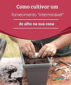 """Como cultivar um fornecimento """"interminável"""" de alho na sua casa. Você sabia que pode cultivar o alho dentro de casa? Ele é muito fácil de ser cultivado em vasos, e a única coisa que precisamos é ter bastante paciência."""