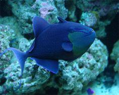 niger trigger | Niger Triggerfish, (Odonus niger) Species Profile, Niger Triggerfish ...
