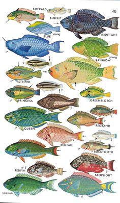 speciation - parrotfish