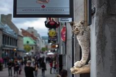 The famous cat of Montreal. Vigilant and always on a look out. stuffed with curiosity Of Montreal, Curiosity, Travel Photography, Lion Sculpture, Statue, Bird, Street, Cats, Animals