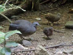 Crypturellus soui / Little tinamou / Kleine tinamoe