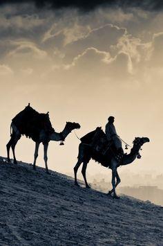 Kamele / Dromedare in der Wüste - Camels in the desert