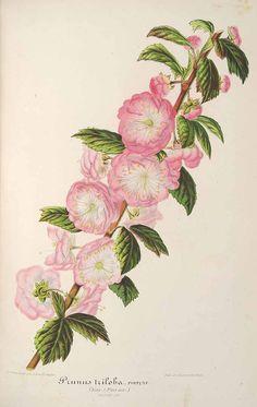 L' Illustration horticole, vol. 8: t. 308 (1861)  family:Rosaceae  subfamily:Rosoideae