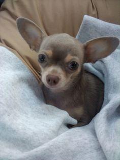 Cute little Chihuahua puppy
