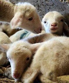 Such a beautiful face! (Lamb on the left. Alpacas, Beautiful Creatures, Animals Beautiful, Funny Animals, Cute Animals, Barnyard Animals, Cute Sheep, Baby Lamb, Sheep And Lamb