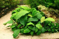 Anubias barteri ''coffeefolia'' - Beginner Live Aquarium Plants Freshwater Hardy