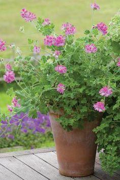 Pelargonium 'Pink Capricorn'