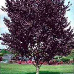 39 newport 39 purple leaf plum tree striking purple red - Decorative trees with red leaves amazing contrasts ...
