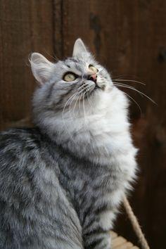 Anyanka is a Silver Tabby  Siberian