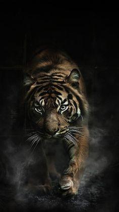 Tiger Wallpapers HD For iphone Tiger Wallpaper Iphone, Wild Animal Wallpaper, Wildlife Wallpaper, Cat Wallpaper, Tiger Images, Tiger Pictures, Lion Images, Tiger Artwork, Tiger Painting