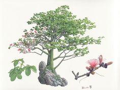 Pseudobombax ellipticum Ilustraciones