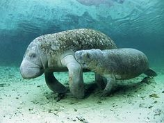 Manatee and her calf walking along the sea bottom. Manatees live in tropical oceans and in places like the Amazon River. All species of manatee are listed as Vulnerable, due to habitat destruction and dangerous interactions with boats and other human technology.