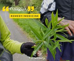 Kupu o te wiki Natural Medicine, Health And Wellbeing, Shrubs, Remedies, Ocean, Island, People, Maori, Home Remedies