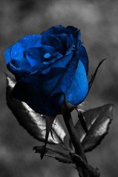 Drk blue rose