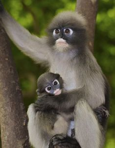 Dusky Langur mom with | http://baby-animals.lemoncoin.org
