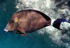 Dark Surgeon | Acanthurus blochii - Australia