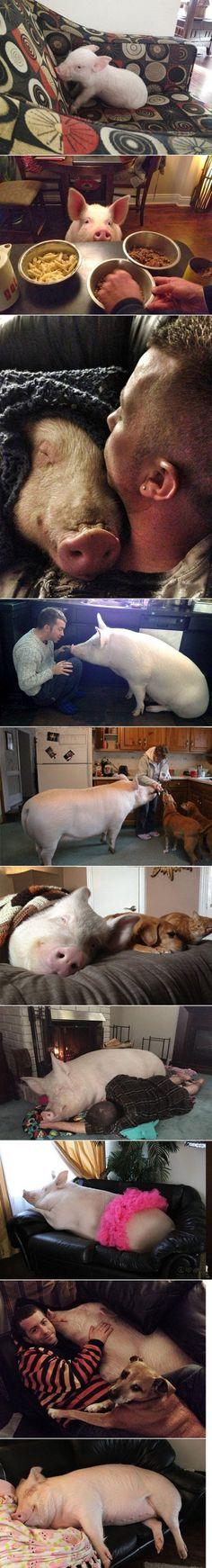 Sie dachten sie hätten ein Zwergschwein gekauft. Heute wiegt es 300 kg | Webfail - Fail Bilder und Fail Videos