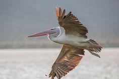 Kenya, Lake Jipe, Pink-backed Pelican - Pelecanus rufescens, Nov 11 | por Peter R Steward