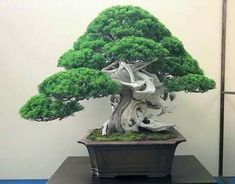 Juniper Bonsai, Bonsai Trees, Flowers, Plants, Beautiful, Gardens, Bonsai, Outdoor Gardens, Plant