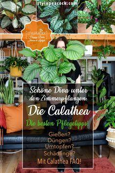 Die Calathea Pflege ist gar nicht so schwer, wenn du weißt, was die Diva der Zimmerpflanzen mag. Die besten Tipps rund um gesunde bunte Korbmaranten. Die Calathea gehört zu Gattung der Pfeilwurzgewächse und hat Verwandte, die ihr sehr ähnlich sehen. Die Calathea ist eine Korbmarante aus der Familie der Pfeilwurzgewächse, eine Marantacaea. Erfahrt mehr über die Pflanzenpflege, Düngen, richtiges Gießen, Schädlingsbekämpfung, Umtopfen + Vermehrung